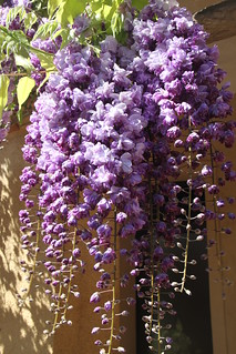 Plumply purple wisteria