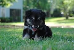 lapponian herder(0.0), german spitz(0.0), keeshond(0.0), norwegian elkhound(0.0), tervuren(0.0), schipperke(0.0), dog breed(1.0), animal(1.0), puppy(1.0), dog(1.0), finnish lapphund(1.0), eurasier(1.0), carnivoran(1.0),