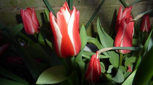 Les tulipes width=