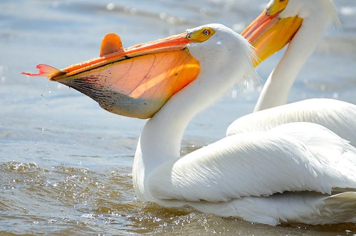 Pelican mouthful - fresh from the Mississippi River