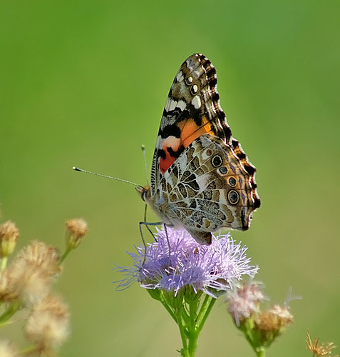 justin nature butterfly insect texas wildlife lepidoptera paintedlady