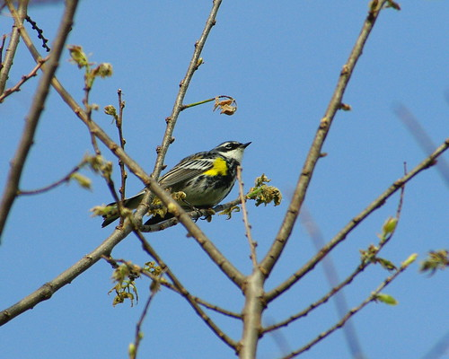 First Of Year Warbler