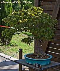 Bonsai-Acer Buergerianum-Jardi Botanic de BCN 28