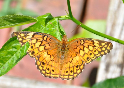 meadow fritillary 2