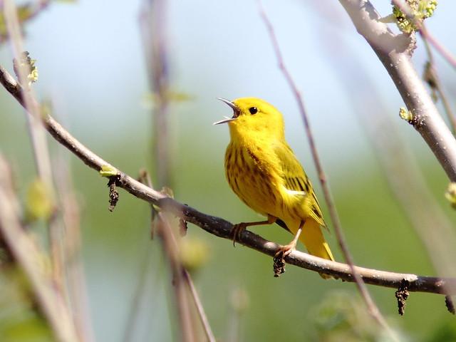 Yellow Warbler 20120511
