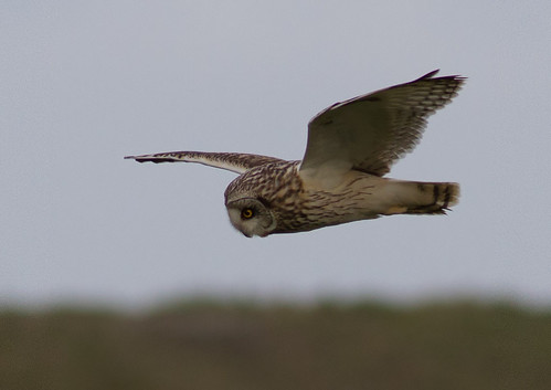 Short-eared Owl @ Dickson's Corner Sandwich Bay 15-05-12