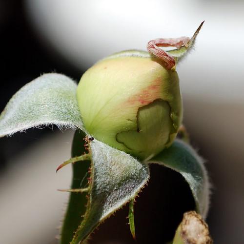 rose worm