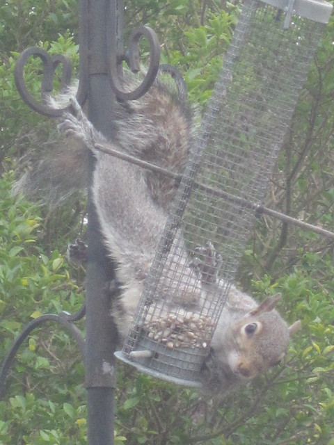squirrel antics (13)
