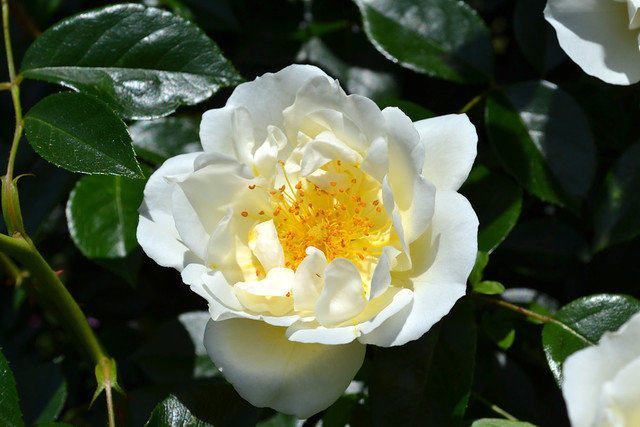 Rosa 'City of York'. Photo by Jean-Marc Grambert.