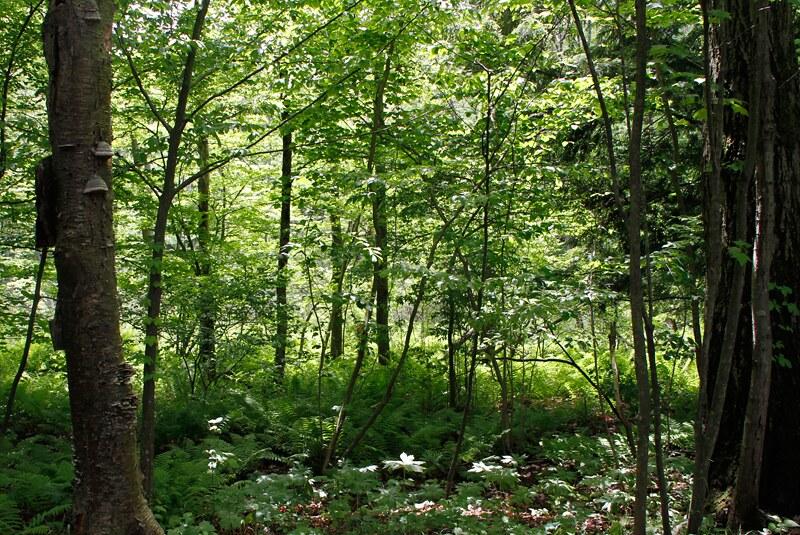 oak_forest
