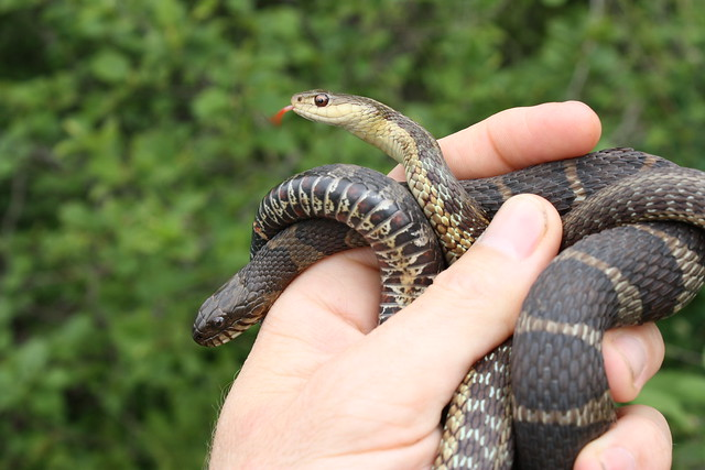 Northern Water Snake (Nerodia sipedon) and Eastern Garter ...