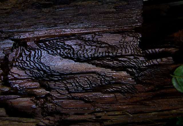 grain on hemlock log