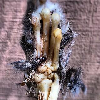 Dermestid Beetle Larva Cleaning A Paw