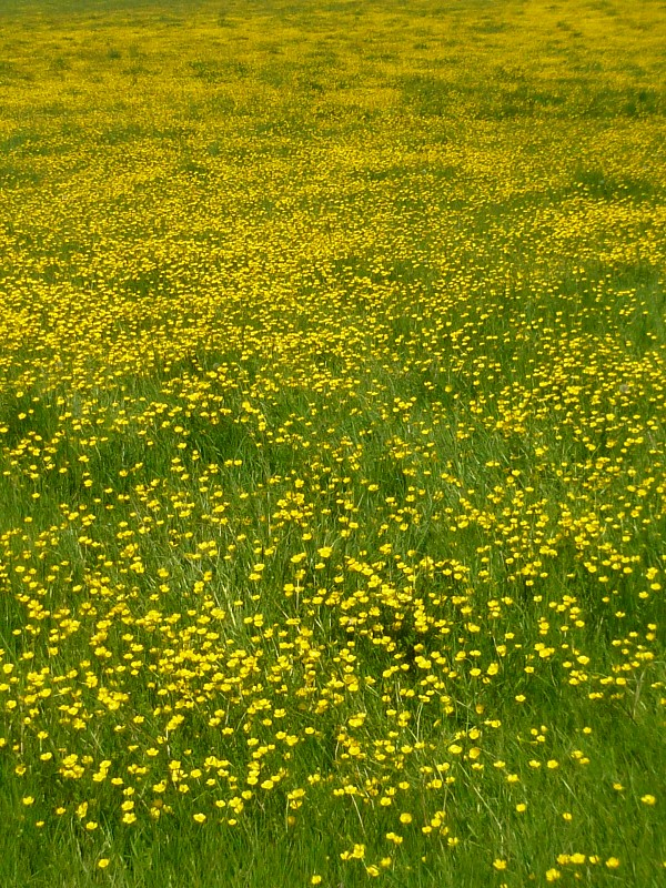 Late May buttercups Sanding to Wye walk