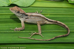 Brown anole. Photo Credit:2011 Todd Pierson