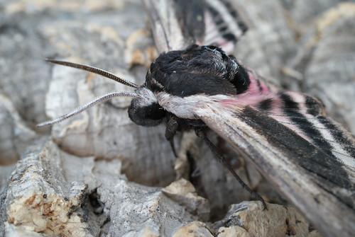 Privet Hawk-moth (Sphinx ligustri) (2)