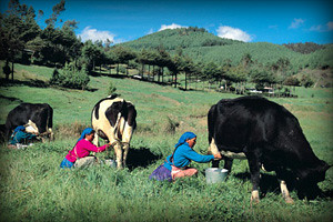 granja-porcon-cajamarca-peru