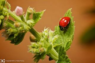 Macro of Wet Ladybug