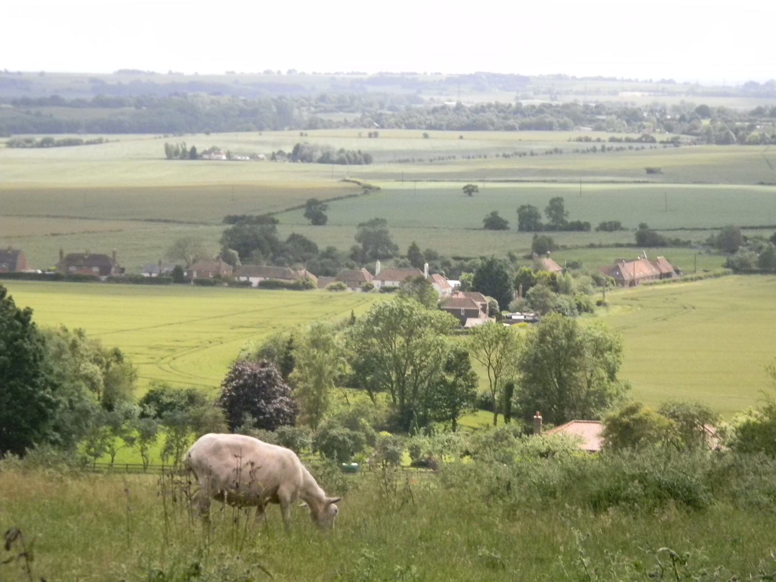 Sheep with view Sandling to Wye