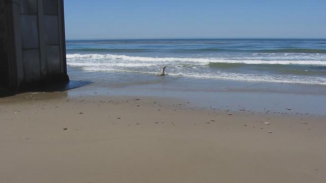 MVI_7188 california sea lion 20s short venoco pier east haskell beach