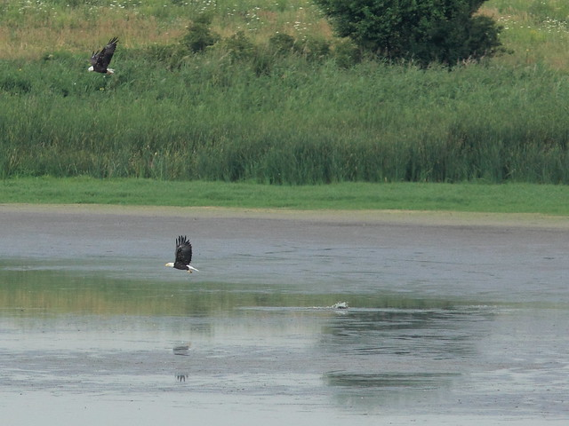 Eagles miss duck 1 second later 20120712