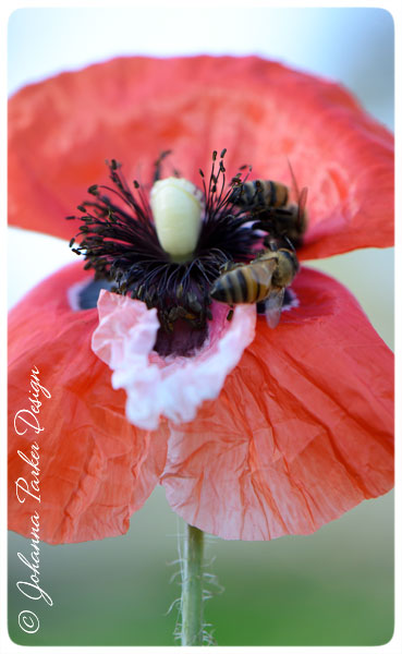 Bees-favorite-Poppy