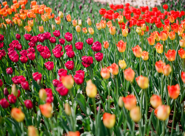 2012_0413_MtVernonTulipsPt2_15.jpg