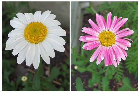 01 white daisy and pink daisy