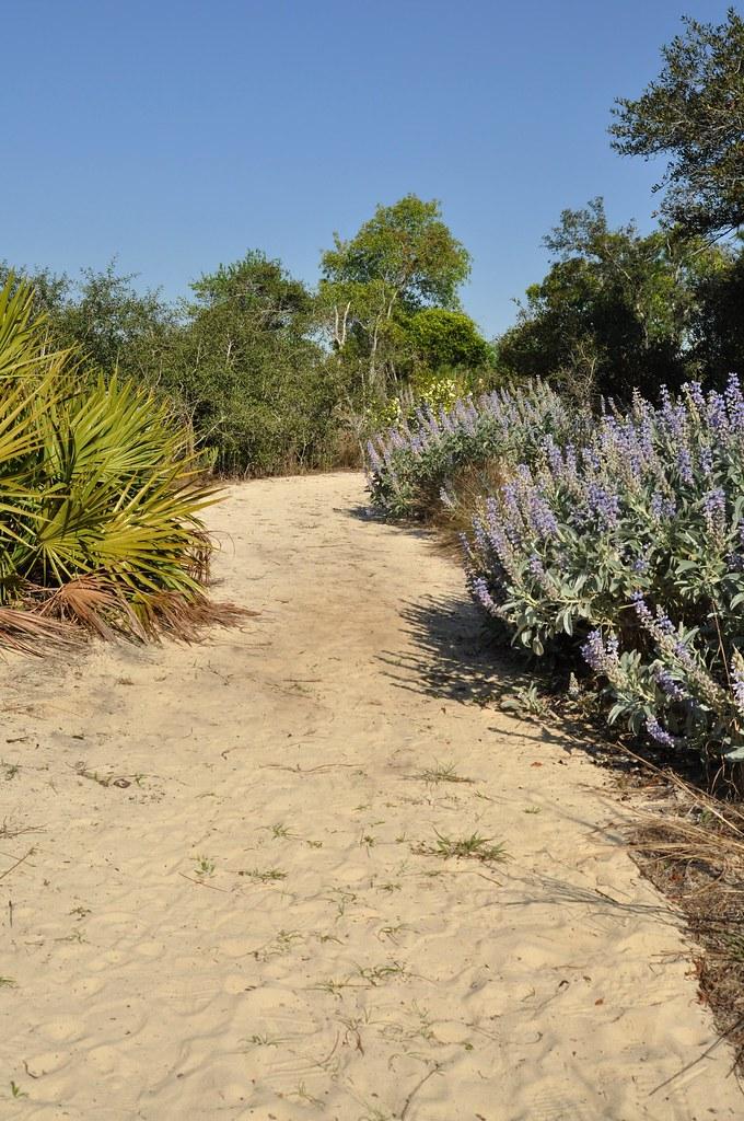 garden ridge scrubs. pine ridge trail with scrub lupine garden scrubs