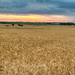 Kansas Wheat Fields by JewelsMari