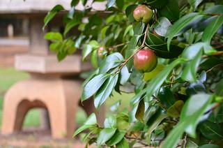 Japanese Apples