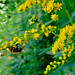 early goldenrod - Photo (c) Fritz Flohr Reynolds, some rights reserved (CC BY-NC)