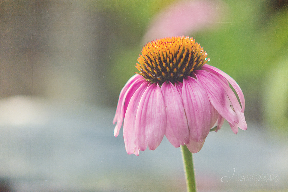 coneflower beauty