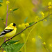 Goldfinch through the flowers