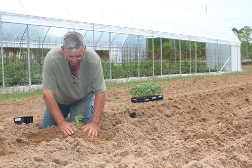 Danny Daniels' tomatoes are one of the staples of the Meridian, Miss. farmers market.
