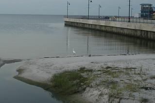 Strolling Egret