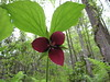 Vasey's trillium - Photo (c) Kid Cowboy, some rights reserved (CC BY-SA)