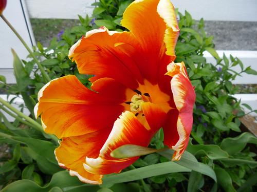 Whidbey Island tulip