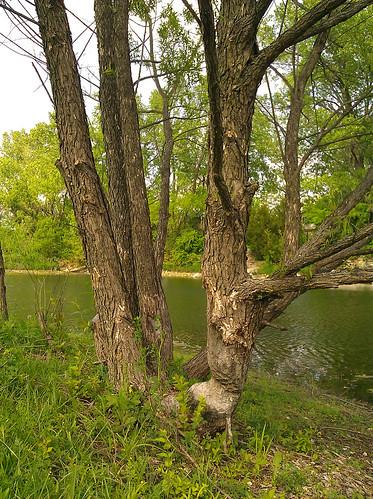 2012-05-01 - Beaver's Tree - 0003