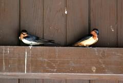 Swallows in Symmetry