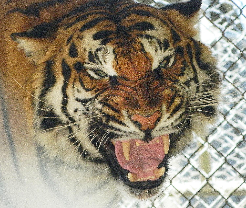 Growling Tiger Calypso