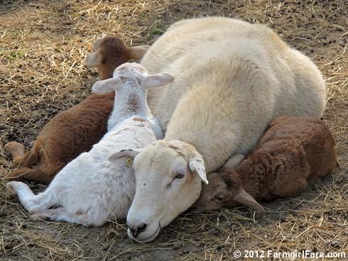 Random lamb snaps 1 - FarmgirlFare.com