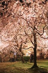Sakura Festival 2012