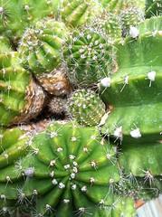 Echinopsis sp.