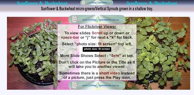 Sunflower Buckwheat Sprouts