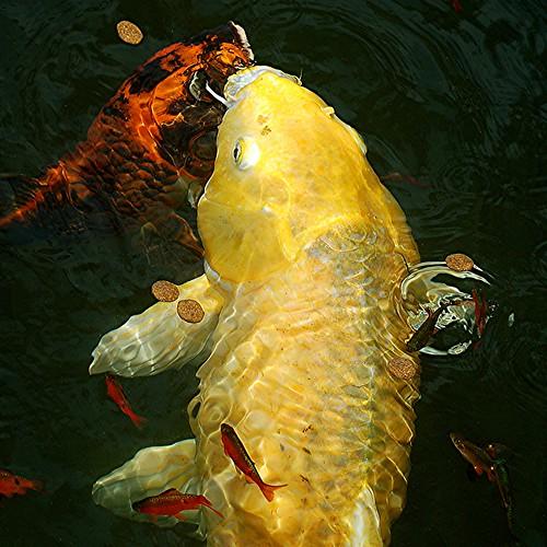 Golden Koi, blazing orange Koi, Ruby Barbs and a magic bubble! by jungle mama