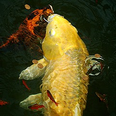 Koi... The Emperor's Fish