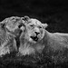 Chester Zoo   Lions by _nod