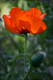 Poppy backlit_5778