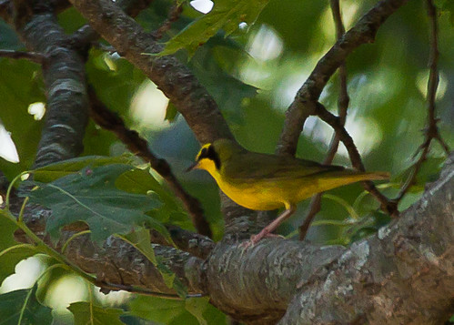 <p>Not the best photo, but then again this is a Kentucky Warbler, not the easiest species to approach. Still it was one of the most exciting moments in the forest, I had assumed we were well north of its breeding range, and there it was singing away!</p>